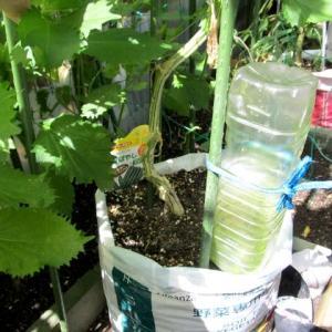 袋栽培のキュウリ