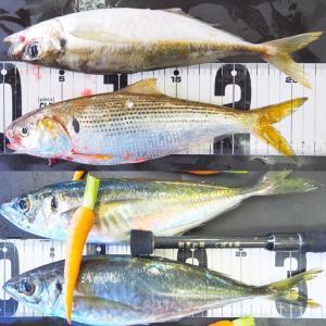 絶好調のレンタル釣り具セットと朝セリ見学ツアー
