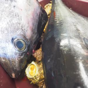 お盆用に10㎏オーバーの中シビ(黒マグロ)、カニ捕り&釣り