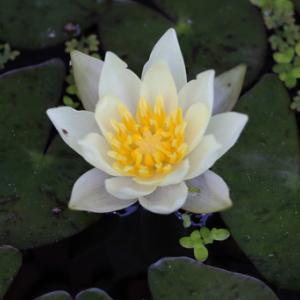★…ホテイ草続々開花だっちゃ…姫睡蓮の花も漸く咲いたよ…★