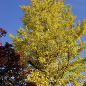 近所の黄葉