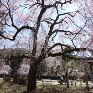 再び、醍醐の桜