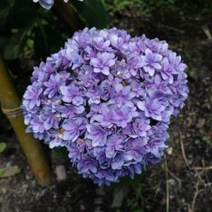 大きくなあれ・・紫陽花