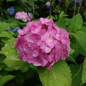 紫陽花は雨がよく似合う