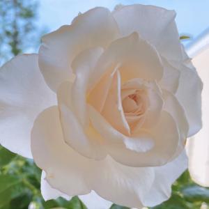 今朝の薔薇(アンナプルナ)