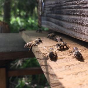 日本蜜蜂05/09