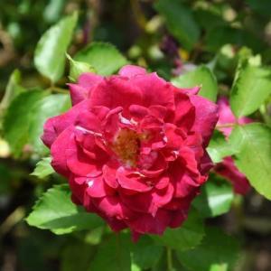 レッツ・セレブレイト、お祝いしよう!! のバラ
