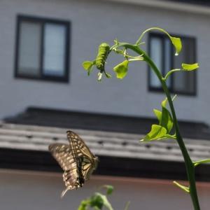 梅雨の晴れ間に アゲハの幼虫が5匹も