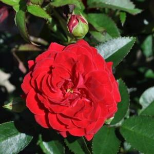 真っ赤なバラ、レッド・キャプテン