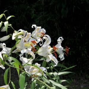森林公園のヤマユリ、咲き始め