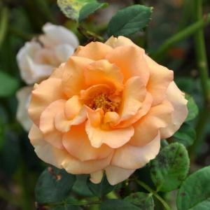 ちょっとまだ早い、秋色のバラ