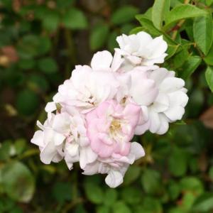 咲きだした、ペレニアル・ブラッシュ
