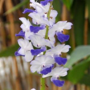 リンコスティリス・コエレスティスは花色がいろいろ
