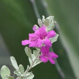 紫ピンクの テキサス・レンジャー