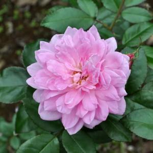 華やかなロゼット咲きの、オーキッド ロマンス
