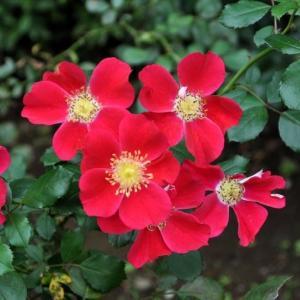 金赤そのもの、真っ赤なバラ