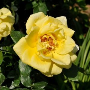 黄色のハイブリッドティ 第1号のバラ