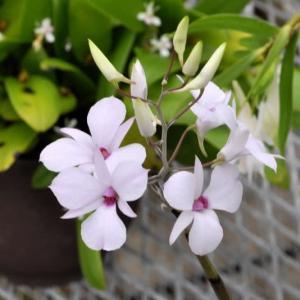 最も美しいデンドロビウム原種