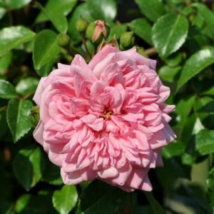コーラルピンクの薔薇、ポール・ノエル