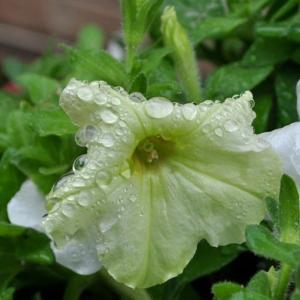 花に置く露、7種