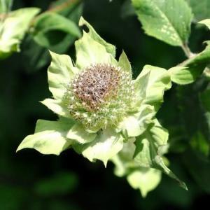 ベルガモットは、花の後も美しい