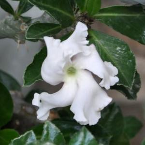 渦巻く白花 サウンデルシィイ