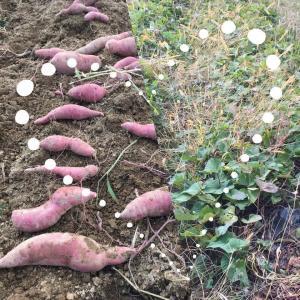 【イベントのお知らせ】自然栽培のサツマイモ収穫体験とサツマイモ料理を楽しむ会