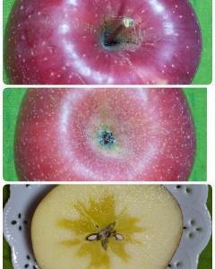 リンゴの季節