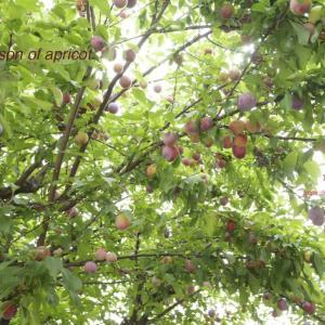 杏子の季節