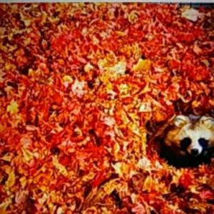 ああ 可愛い エゾタヌキ 落ち葉の中からぁ