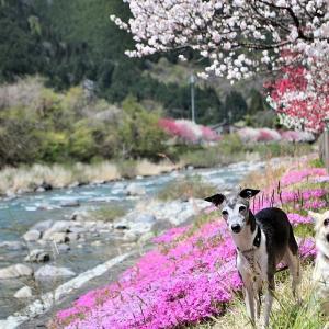 思い出のはなももと、はじめての桜。