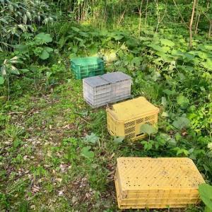 ハチミツ採取