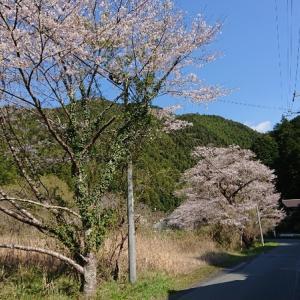 秋葉山下社は桜満開