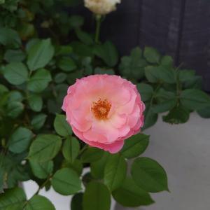 ラストの薔薇