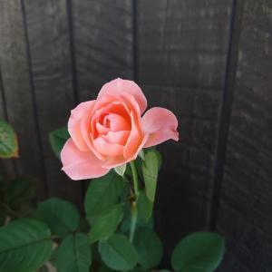 今年の薔薇 見納め