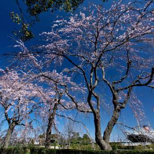 横浜の桜2020[1]