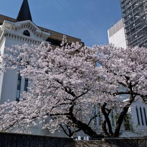 横浜の桜2020[3]