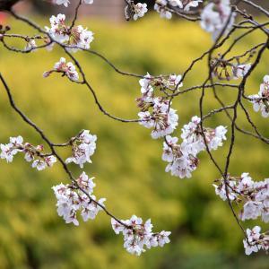 横浜の桜2020[6]