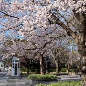 横浜の桜2020[7]