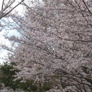 令和2年の桜、惜しまれて散って……、今年のサクラは……