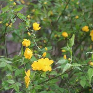 今日4月20日の誕生日の花はヤマブキです