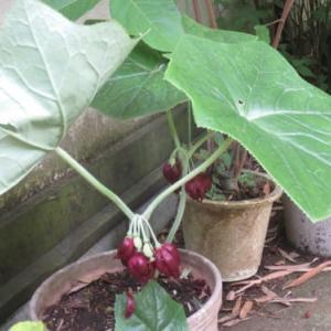 初めての花「八角蓮」―薬王寺で拝見しました