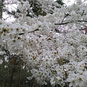 ときは春、平成最後「一人花見」の白日夢