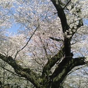 桜は天井にあり 今年のサクラは長持ちしています