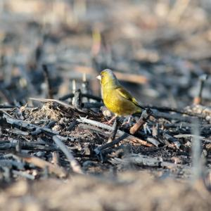 【2019JP#16】カワラヒワ(Grey-capped Greenfinch)