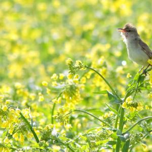 【2019JP#18】オオヨシキリ(Great Reed-Warbler)