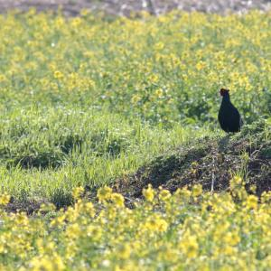【2019JP#19】キジ(Green Pheasant)