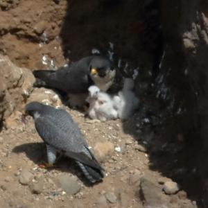 【2019JP#21】ハヤブサ(Peregrine Falcon)