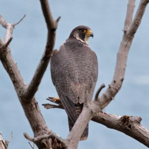 【2019JP#24】ハヤブサNo2(Peregrine Falcon)
