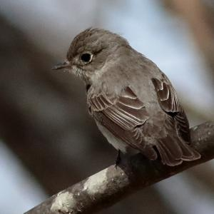 【2019JP#27】コサメビタキ(Asian Brown Flycatcher)